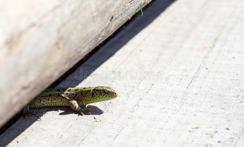 Lizard climbed on the Board and basking in the sun stock photography