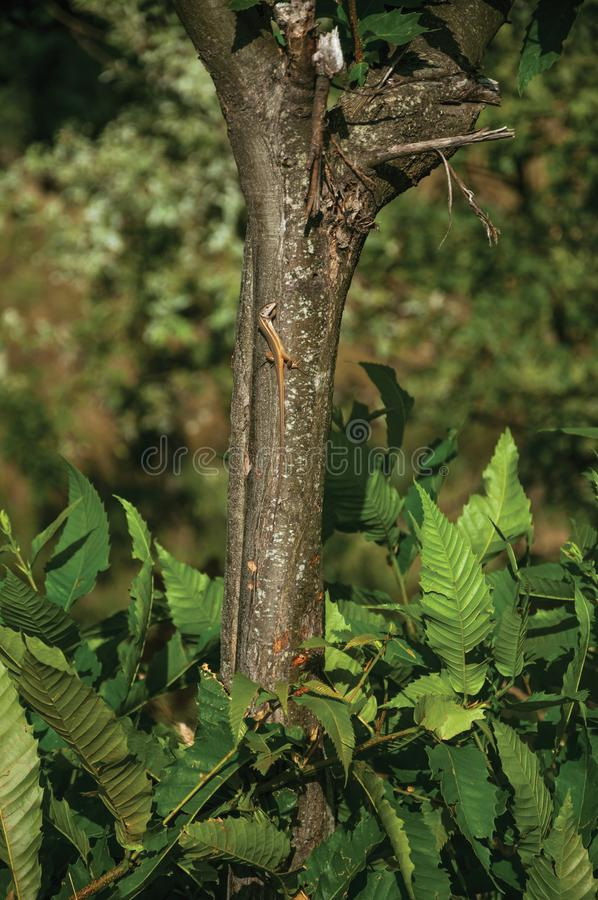 Lizard clinging to tree trunk in a leafy forest. Lizard clinging to tree trunk in the middle of leafy forest, in a sunny day at the highlands of Serra da Estrela royalty free stock image