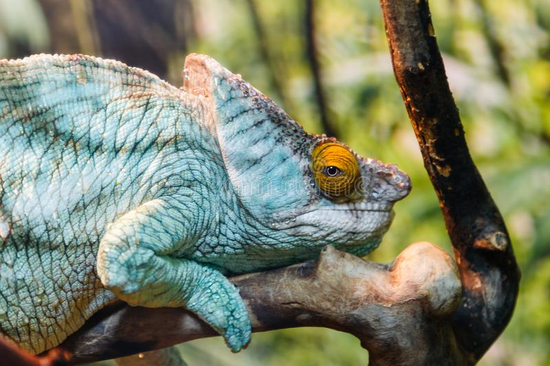 Lizard a close up royalty free stock photography