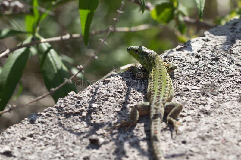 Lizard royalty free stock photo