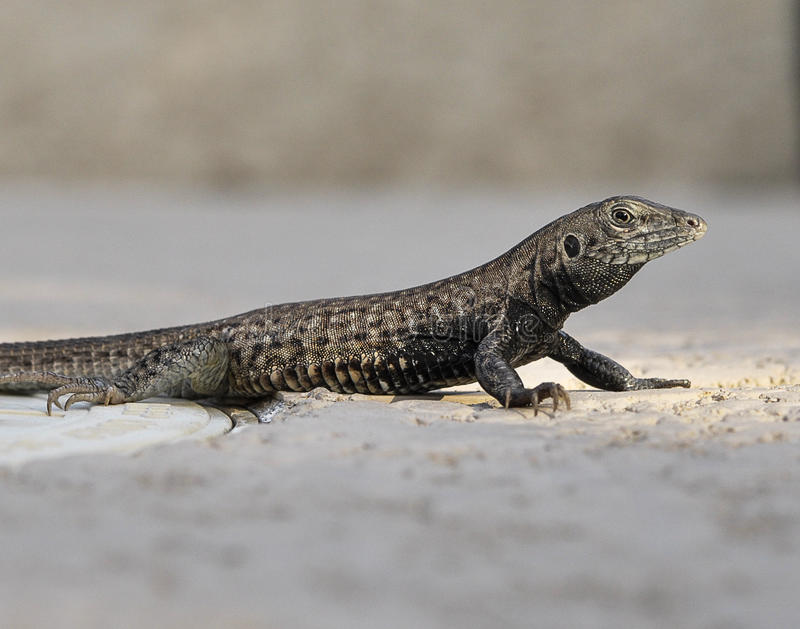 Lizard close-up royalty free stock photo