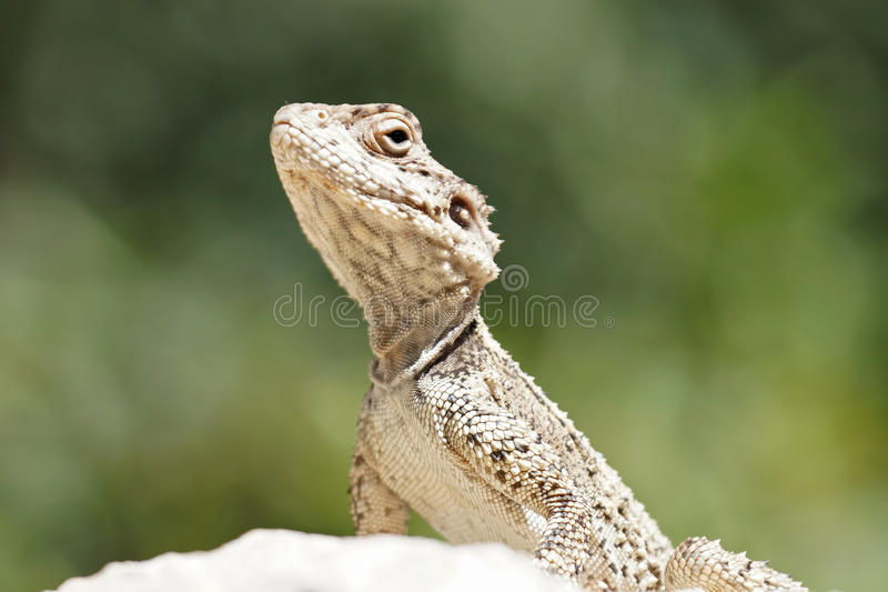 Lizard. Close up macro shot stock images