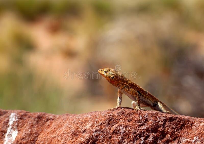Download Lizard closeup stock photo. Image of nature, alertness - 14861768