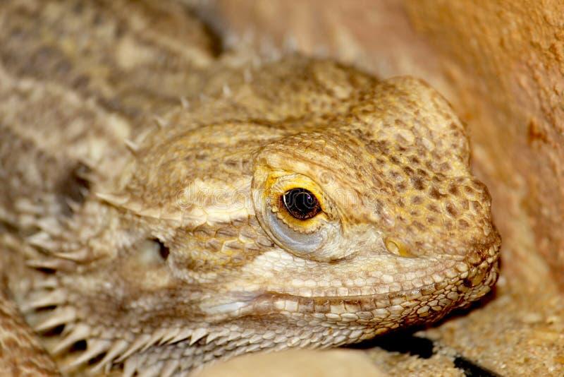 Download Lizard stock image. Image of primitive, bearded, cut - 36658409