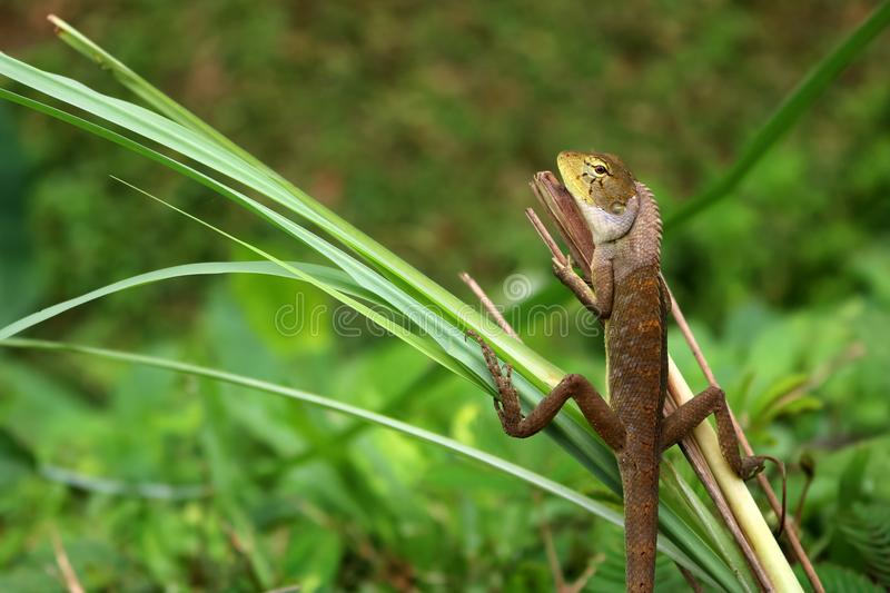 Lizard in a comfortable position in the garden. Lizard in a comfortable position in the garden,Green nature background royalty free stock photo