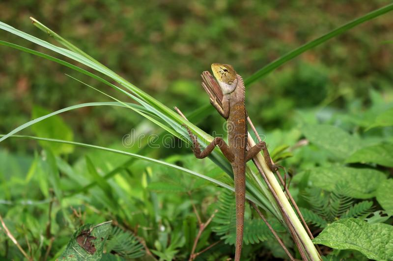 Lizard in a comfortable position in the garden. Green nature background stock images