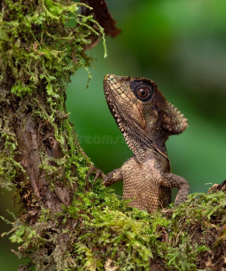 Lizard in Costa Rica. A Lizard in Costa Rica stock photography