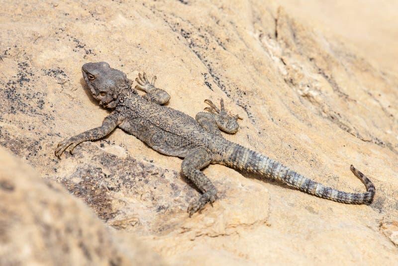 Lizard in the desert royalty free stock photo