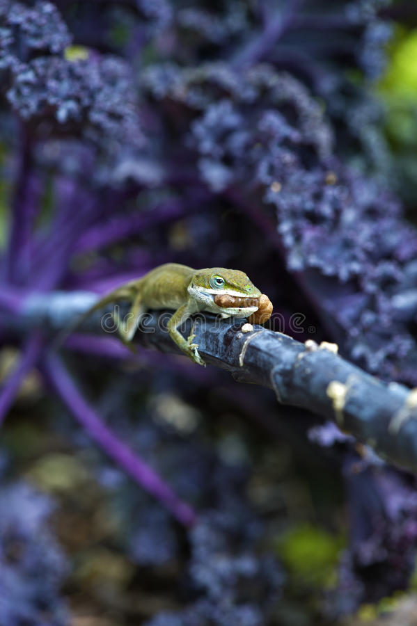 Lizard dinner royalty free stock images