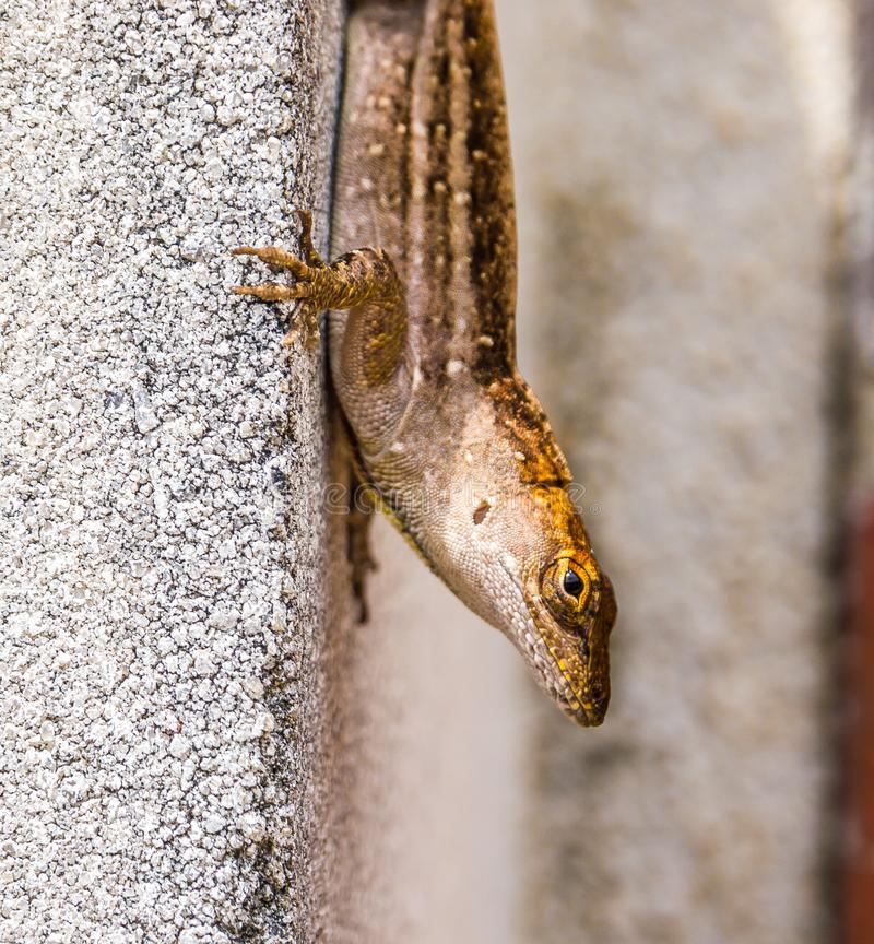 Lizard Down on a Wall stock photo