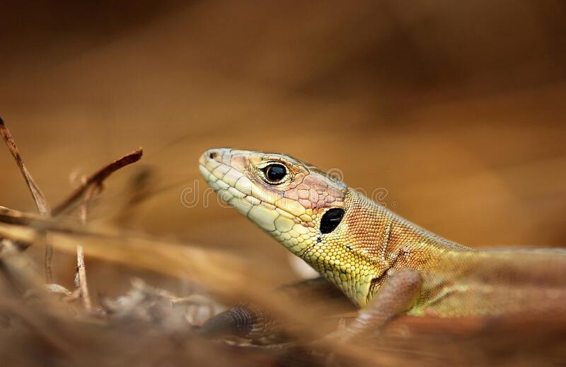 Lizard in dry grass stock photo