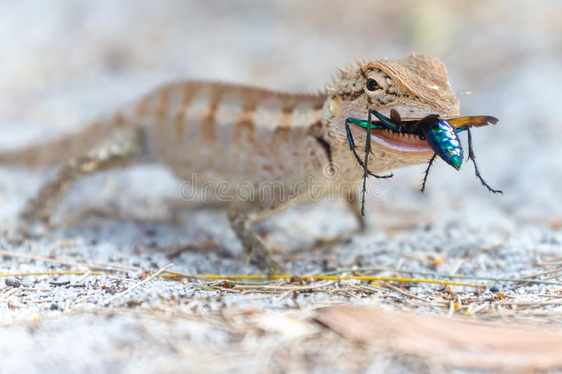 Lizard eating a colorful wasp stock photo