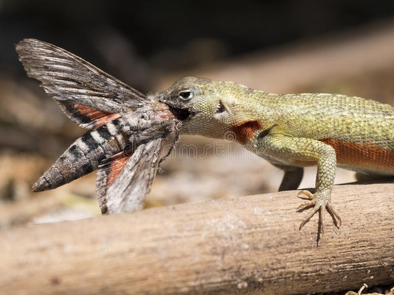 Lizard eats moth stock photography