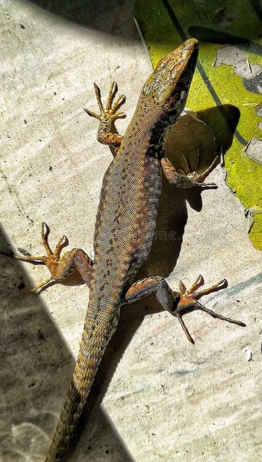 Lizard enjoying on sun light. Lizard sun sunshine enjoy animal world wild poser reptile stock photos