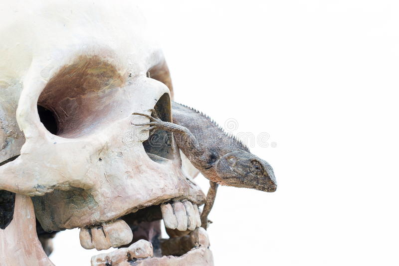 Lizard in the eye of human skull. Lizard in the eye of human head skull stock images