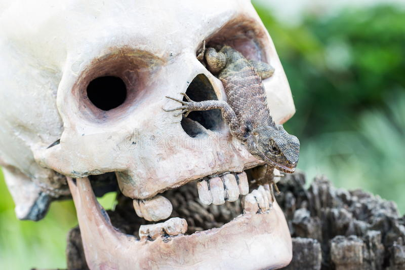 Lizard in the eye of human skull. Lizard in the eye of head human skull stock images
