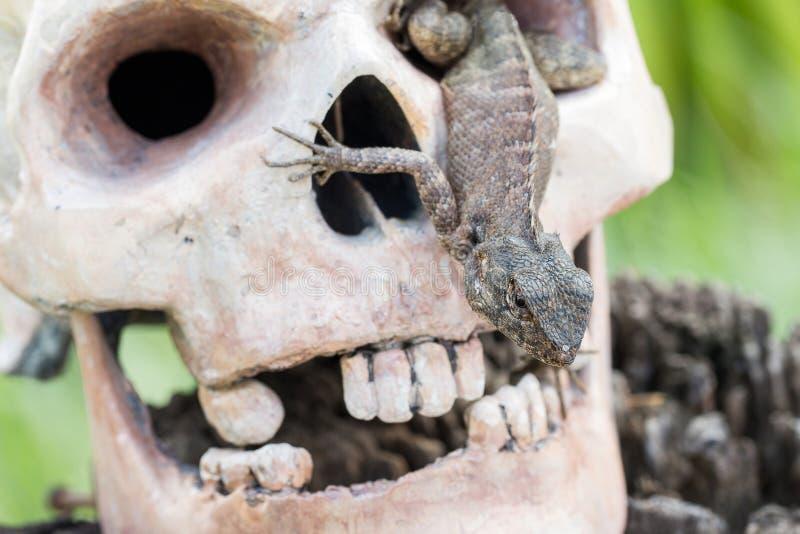 Lizard in the eye of human skull. Lizard in the eye of head human skull royalty free stock image