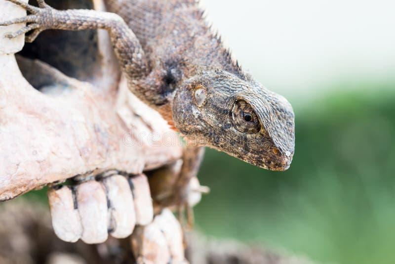Lizard in the eye of human skull. Lizard in the eye of head human skull royalty free stock photos