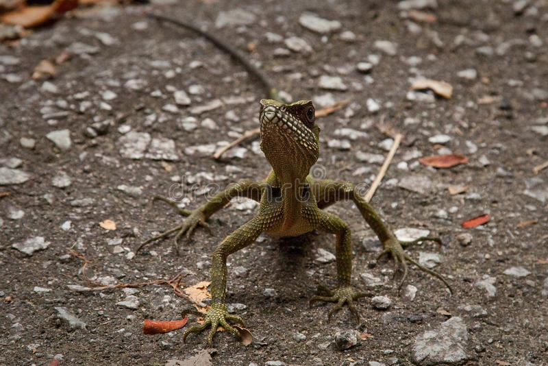 Download Lizard Facing Camera On Road Stock Image - Image: 12437395