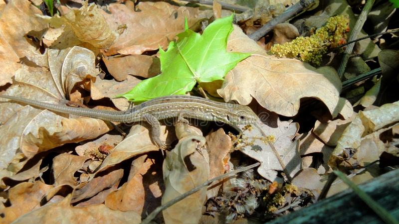 Lizard in the forest royalty free stock photography