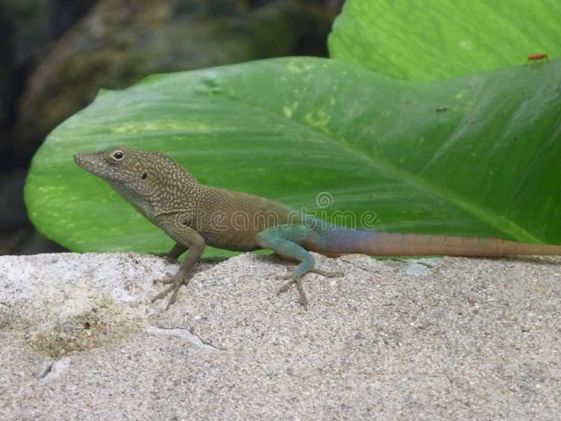 Lizard Friend 2 royalty free stock photo
