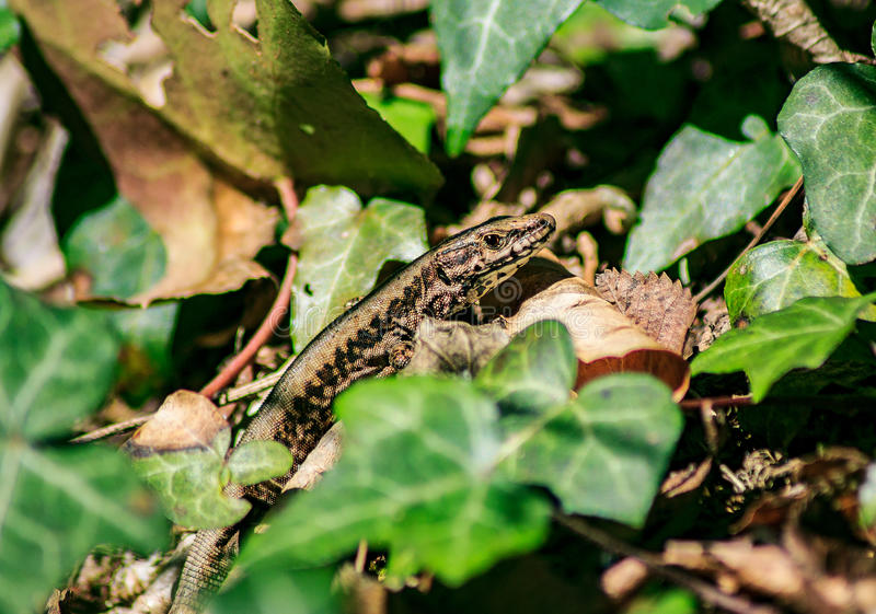 Lizard in the grass. Lizard lies in the sun between the green leaves in the grass stock photos