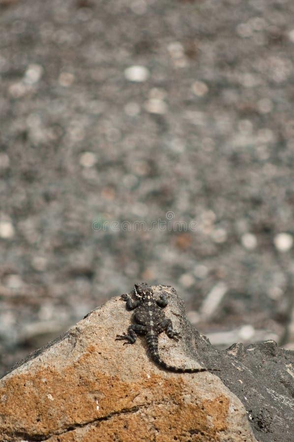 Small Lizard Royalty Free Stock Photos