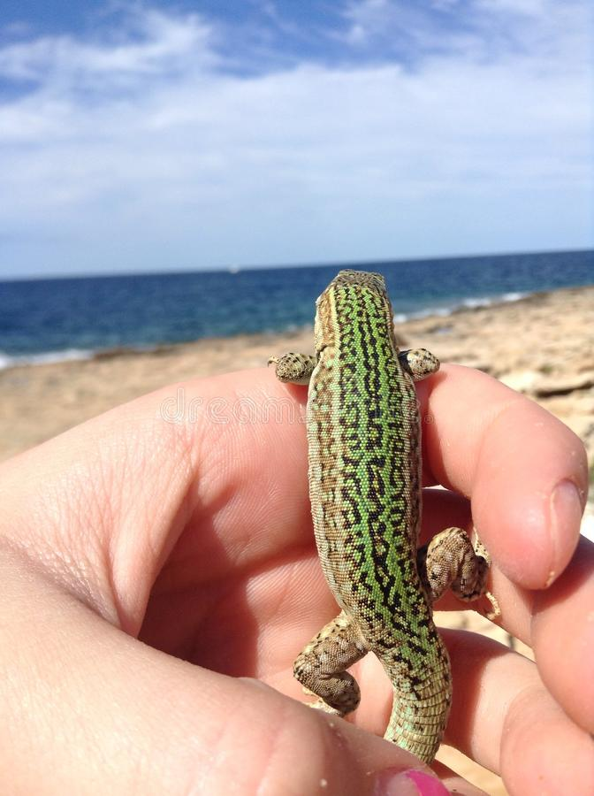 Lizard. stock image