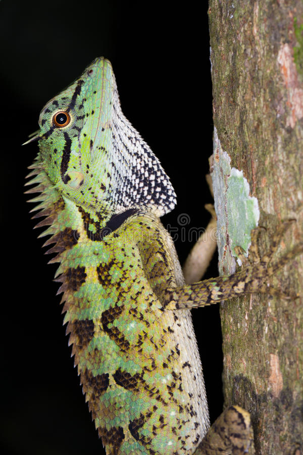 Lizard. Green and multi colour lizard catching tree in nature stock photography