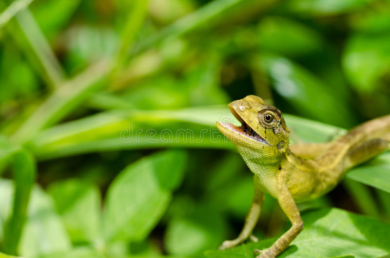 Lizard in green nature royalty free stock photos