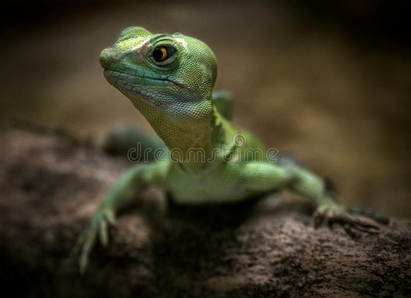 Green Lizard Reptile in Nature stock images