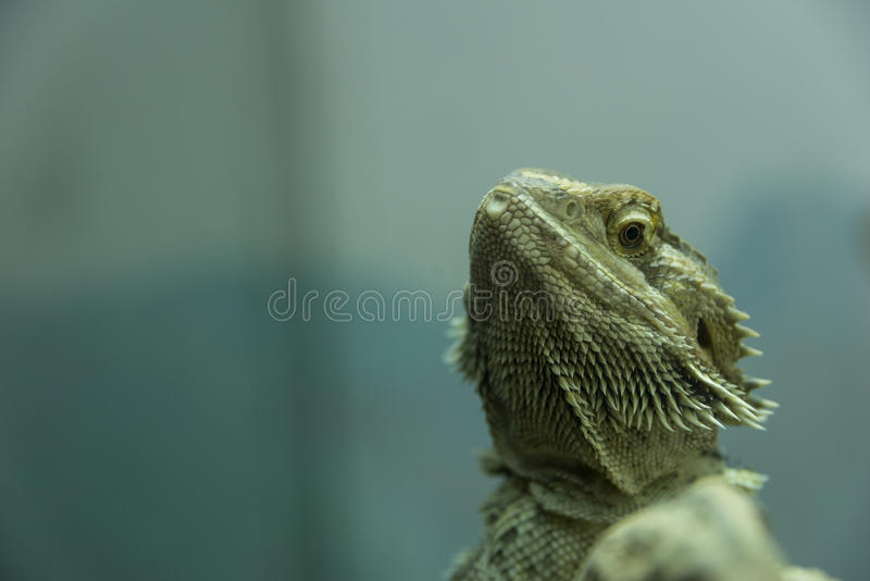 Lizard in Haifa Zoo royalty free stock images