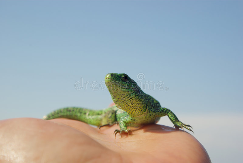 Lizard on the hand. And cloudscape royalty free stock photography