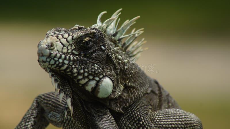 Lizard (iguana) close-up royalty free stock photo
