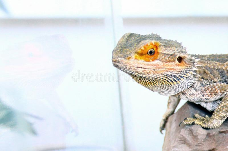 Lizard, Iguana, gecko, sits in an aquarium.  stock photo