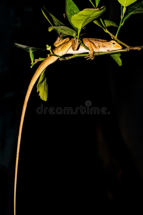 Lizard, Iguana, Gecko, Skink. Lizard Iguana, Gecko, Skink slept on a green tree with green leaves, black background royalty free stock photos