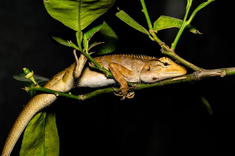 Lizard, Iguana, Gecko, Skink. Lizard Iguana, Gecko, Skink slept on a green tree with green leaves, black background stock images