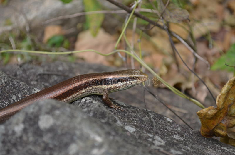 Download Lizard in the jungle stock image. Image of wild, lizard - 28040555