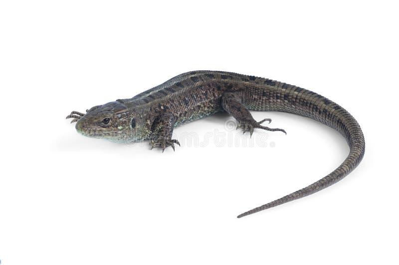 Lizard Lacerta agilis stock images