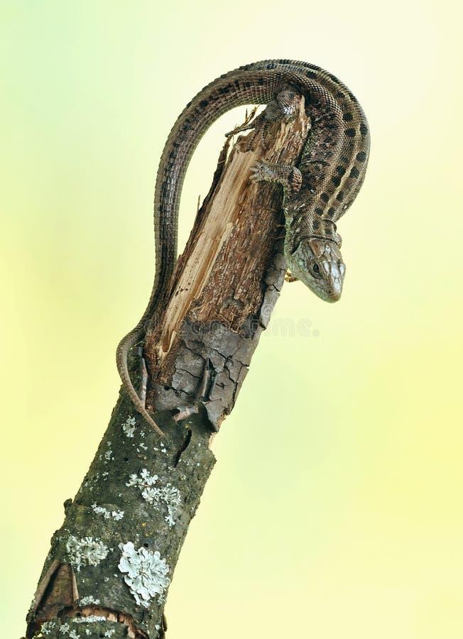 Lizard Lacerta agilis royalty free stock photos