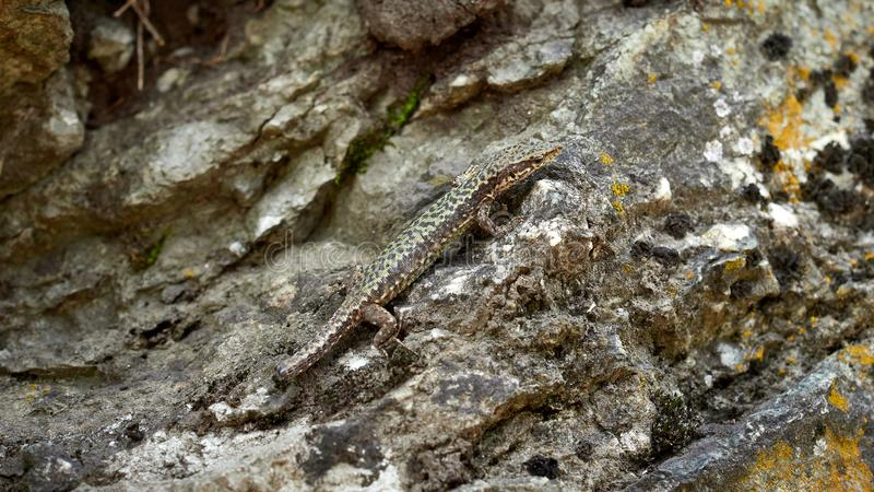 A lizard Lacerta Viridis with a broken tail sits on a stone. Wounded animal in the wild royalty free stock photos