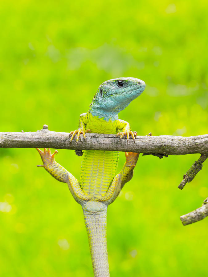 Download Lizard Lacerta viridis stock photo. Image of field, clamber - 76231222