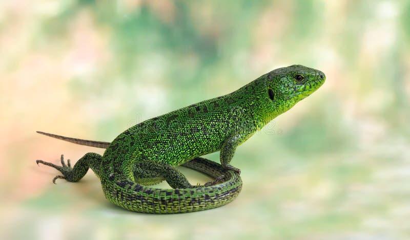 Lizard Lacerta viridis (European Green Lizard) royalty free stock photography