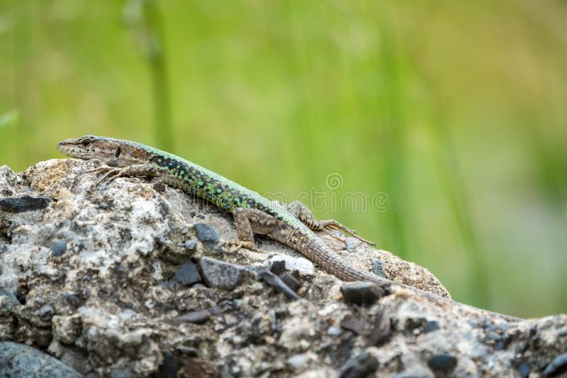 The lizard Lacerta viridis sits on a stone with green background. The lizard Lacerta viridis sits on a stone under the sun with green background. Background stock photography