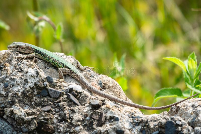 The lizard Lacerta viridis sits on a stone with green background. The lizard Lacerta viridis sits on a stone under the sun with green background. Background royalty free stock images