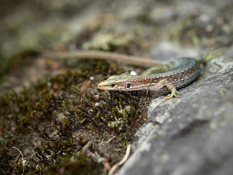 The lizard Lacerta viridis sits on a stone. Background lizard on stone close up. Background detailed image of a lizard. Blured image stock photography