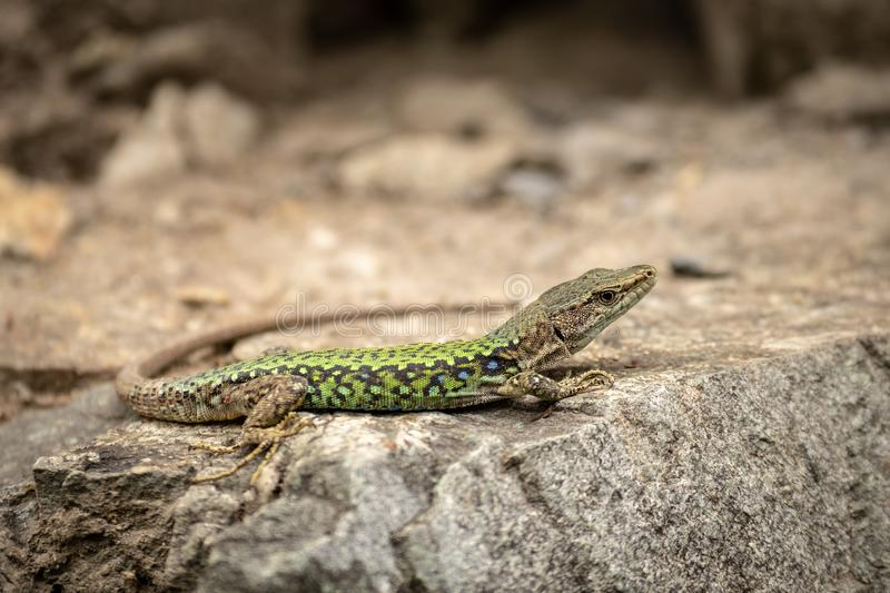 The lizard Lacerta viridis sits on a stone. Under the sun. Background lizard on stone close up. Background detailed image of a lizard royalty free stock image