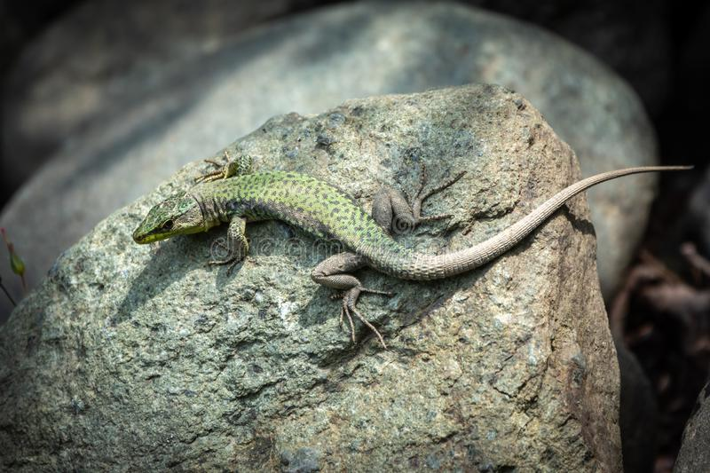 The lizard Lacerta viridis sits on a stone. Under the sun. Background lizard on stone close up. Background detailed image of a lizard royalty free stock images