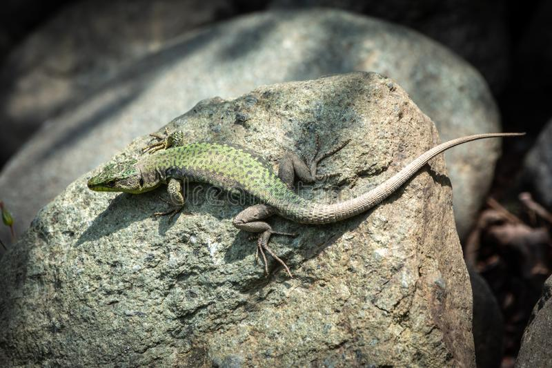 The lizard Lacerta viridis sits on a stone. Under the sun. Background lizard on stone close up. Background detailed image of a lizard stock photos