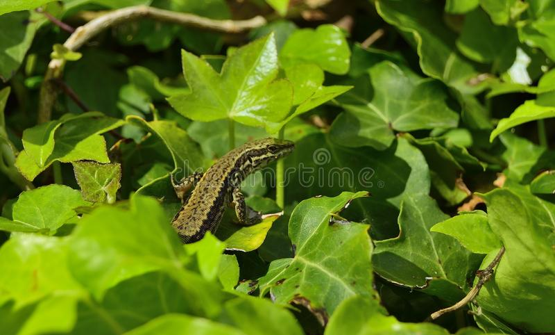 Lizard- lagartija stock image